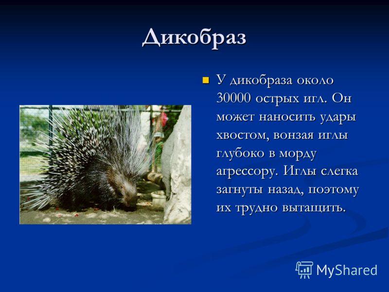 Дикобраз У дикобраза около 30000 острых игл. Он может наносить удары хвостом, вонзая иглы глубоко в морду агрессору. Иглы слегка загнуты назад, поэтом