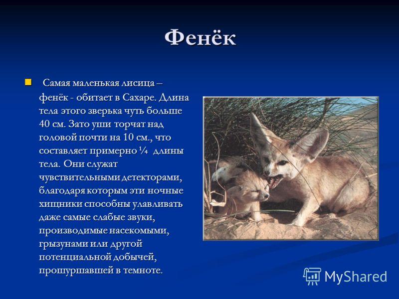 Фенёк Самая маленькая лисица – фенёк - обитает в Сахаре. Длина тела этого зверька чуть больше 40 см. Зато уши торчат над головой почти на 10 см., что