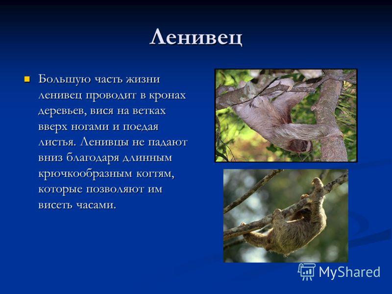 Ленивец Большую часть жизни ленивец проводит в кронах деревьев, вися на ветках вверх ногами и поедая листья. Ленивцы не падают вниз благодаря длинным крючкообразным когтям, которые позволяют им висеть часами. Большую часть жизни ленивец проводит в кр