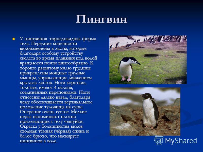 Пингвин У пингвинов торпедовидная форма тела. Передние конечности видоизменены в ласты, которые благодаря особому устройству скелета во время плавания под водой вращаются почти винтообразно. К хорошо развитому килю грудины прикреплены мощные грудные