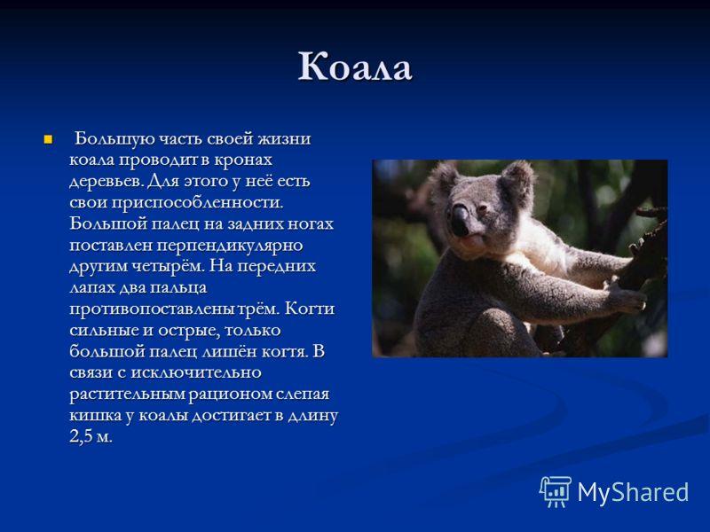 Коала Большую часть своей жизни коала проводит в кронах деревьев. Для этого у неё есть свои приспособленности. Большой палец на задних ногах поставлен перпендикулярно другим четырём. На передних лапах два пальца противопоставлены трём. Когти сильные