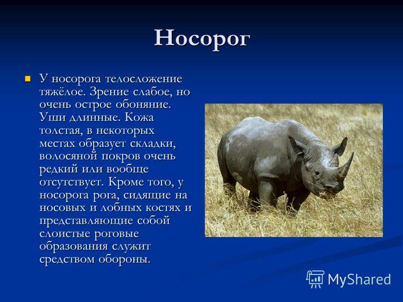 Носорог У носорога телосложение тяжёлое. Зрение слабое, но очень острое обоняние. Уши длинные. Кожа толстая, в некоторых местах образует складки, волосяной покров очень редкий или вообще отсутствует. Кроме того, у носорога рога, сидящие на носовых и