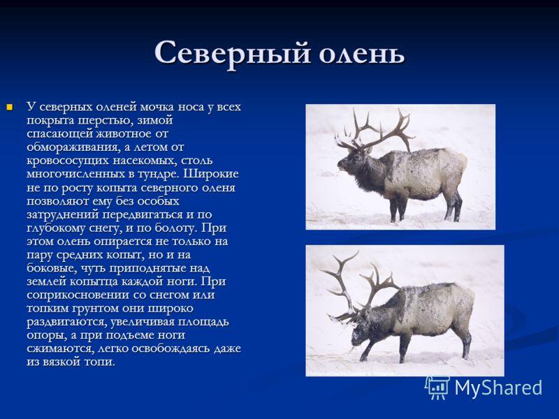 Северный олень У северных оленей мочка носа у всех покрыта шерстью, зимой спасающей животное от обмораживания, а летом от кровососущих насекомых, столь многочисленных в тундре. Широкие не по росту копыта северного оленя позволяют ему без особых затру