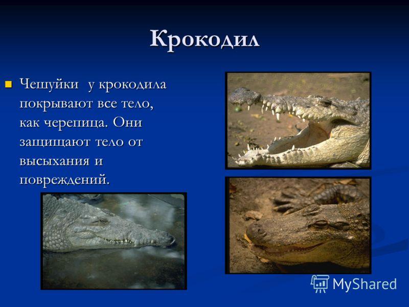 Крокодил Чешуйки у крокодила покрывают все тело, как черепица. Они защищают тело от высыхания и повреждений. Чешуйки у крокодила покрывают все тело, как черепица. Они защищают тело от высыхания и повреждений.