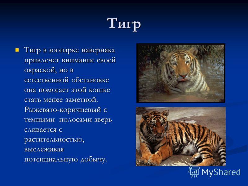 Тигр Тигр в зоопарке наверняка привлечет внимание своей окраской, но в естественной обстановке она помогает этой кошке стать менее заметной. Рыжевато-