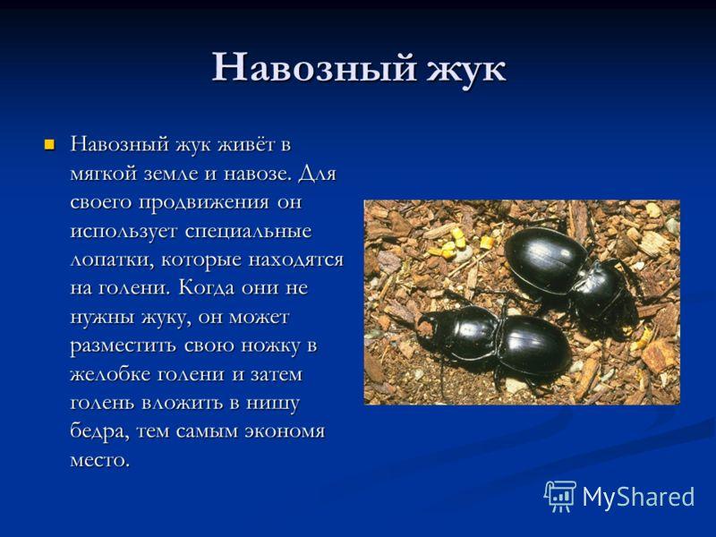 Навозный жук Навозный жук живёт в мягкой земле и навозе. Для своего продвижения он использует специальные лопатки, которые находятся на голени. Когда они не нужны жуку, он может разместить свою ножку в желобке голени и затем голень вложить в нишу бед