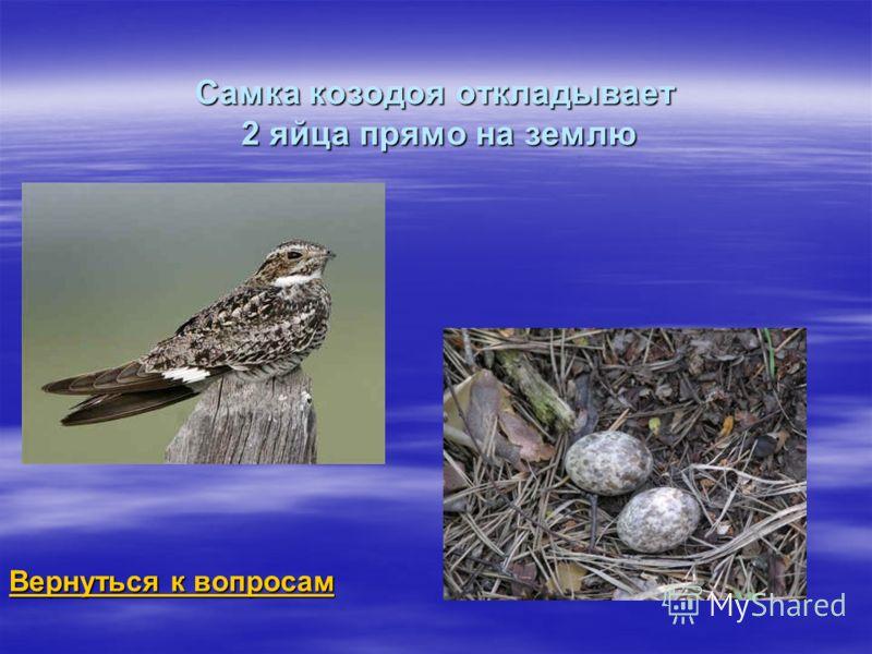 Самка козодоя откладывает 2 яйца прямо на землю Вернуться к вопросам Вернуться к вопросам