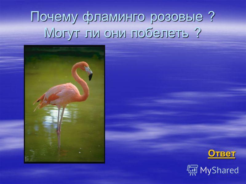 Почему фламинго розовые ? Могут ли они побелеть ? Ответ