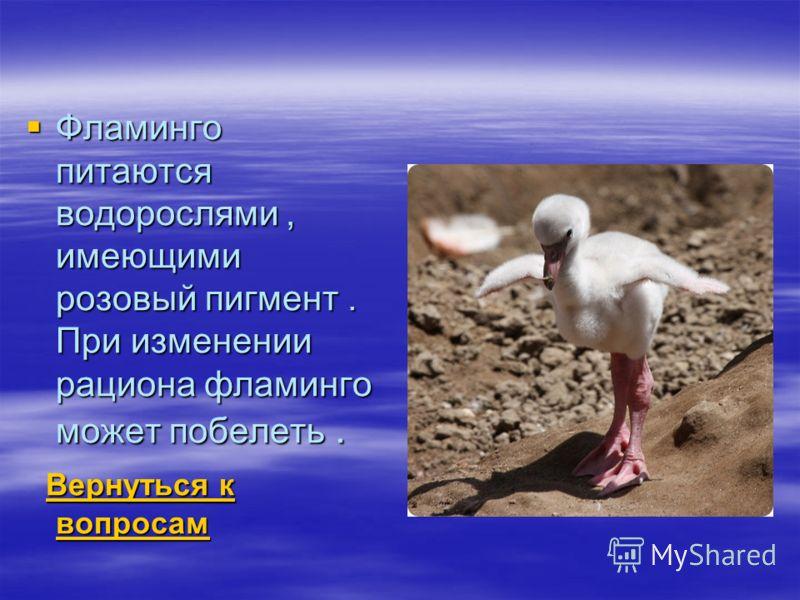 Фламинго питаются водорослями, имеющими розовый пигмент. При изменении рациона фламинго может побелеть. Фламинго питаются водорослями, имеющими розовый пигмент. При изменении рациона фламинго может побелеть. Вернуться к вопросам Вернуться к вопросам