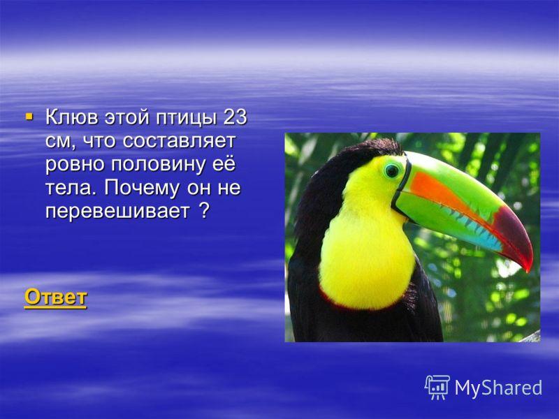 Клюв этой птицы 23 см, что составляет ровно половину её тела. Почему он не перевешивает ? Клюв этой птицы 23 см, что составляет ровно половину её тела. Почему он не перевешивает ? Ответ