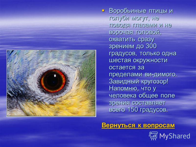 Воробьиные птицы и голуби могут, не поводя глазами и не ворочая головой, охватить сразу зрением до 300 градусов, только одна шестая окружности остается за пределами ви-димого. Завидный кругозор! Напомню, что у человека общее поле зрения составляет вс