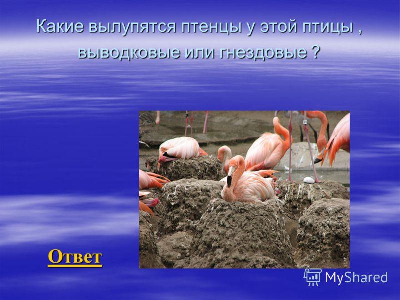 Какие вылупятся птенцы у этой птицы, выводковые или гнездовые ? Ответ