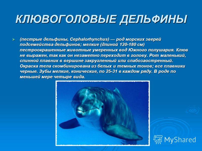 КЛЮВОГОЛОВЫЕ ДЕЛЬФИНЫ (пестрые дельфины, Серhalorhynchus) род морских зверей подсемейства дельфинов; мелкие (длиной 120-180 см) пестроокрашенные животные умеренных вод Южного полушария. Клюв не выражен, так как он незаметно переходит в голову. Рот ма