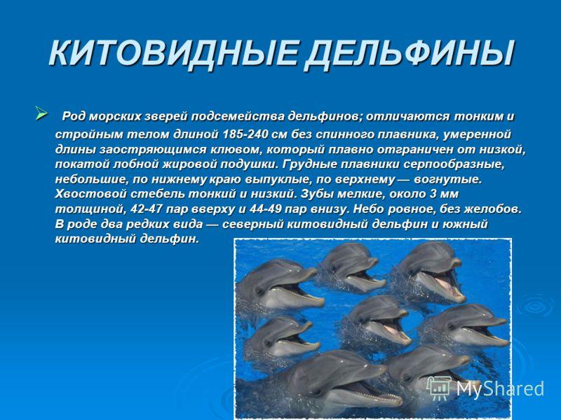 КИТОВИДНЫЕ ДЕЛЬФИНЫ Род морских зверей подсемейства дельфинов; отличаются тонким и стройным телом длиной 185-240 см без спинного плавника, умеренной длины заостряющимся клювом, который плавно отграничен от низкой, покатой лобной жировой подушки. Груд