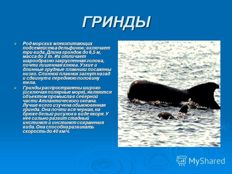 ГРИНДЫ Род морских млекопитающих подсемейства дельфинов; включает три вида. Длина гриндов до 6,5 м, масса до 2 т. Их отличает шарообразно закругленная голова, почти лишенная клюва. Узкие и длинные грудные плавники посажены низко. Спинной плавник загн