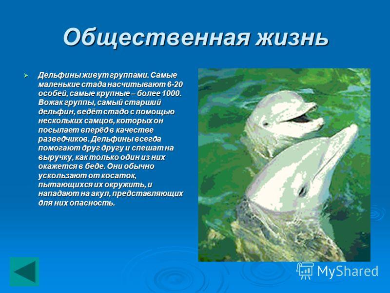 Общественная жизнь Дельфины живут группами. Самые маленькие стада насчитывают 6-20 особей, самые крупные – более 1000. Вожак группы, самый старший дельфин, ведёт стадо с помощью нескольких самцов, которых он посылает вперёд в качестве разведчиков. Де