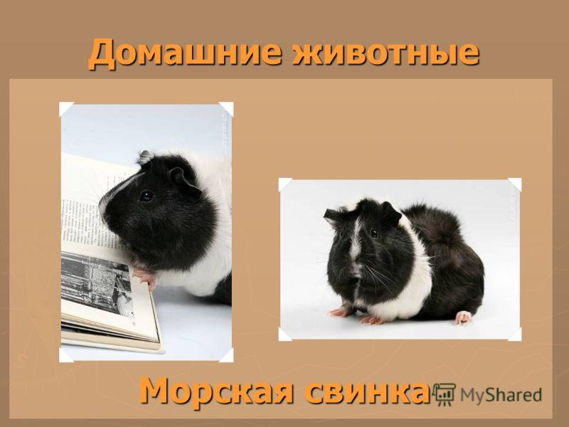 Домашние животные Морская свинка