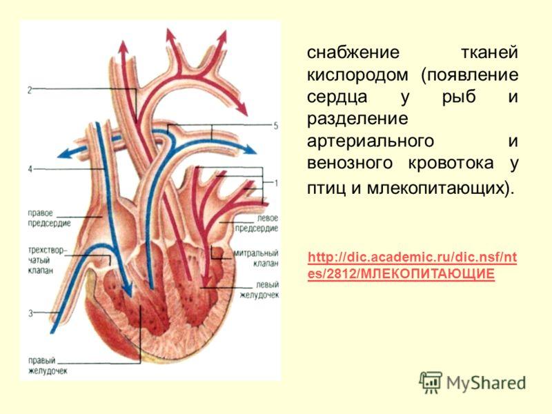 снабжение тканей кислородом (появление сердца у рыб и разделение артериального и венозного кровотока у птиц и млекопитающих). http://dic.academic.ru/dic.nsf/nt es/2812/МЛЕКОПИТАЮЩИЕ