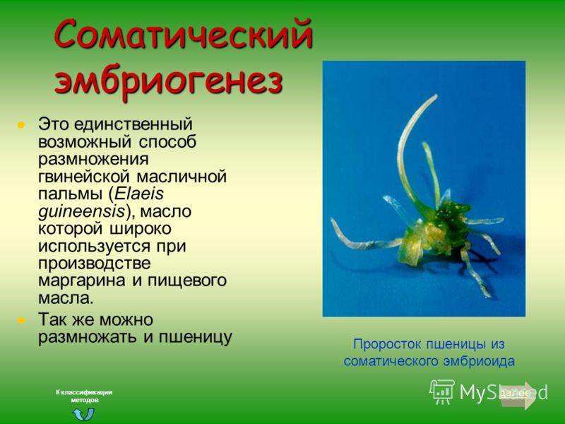 Соматический эмбриогенез Основывается на дифференциации из соматических клеток зародышеподобных структур, которые по своему виду напоминают зиготические зародыши. Соматические зародыши проходят 3 стадии развития: глобулярную, сердцевидную, торпедовид