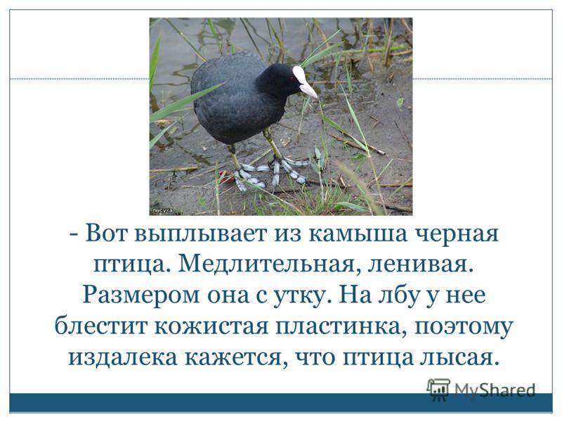 - Вот выплывает из камыша черная птица. Медлительная, ленивая. Размером она с утку. На лбу у нее блестит кожистая пластинка, поэтому издалека кажется, что птица лысая.