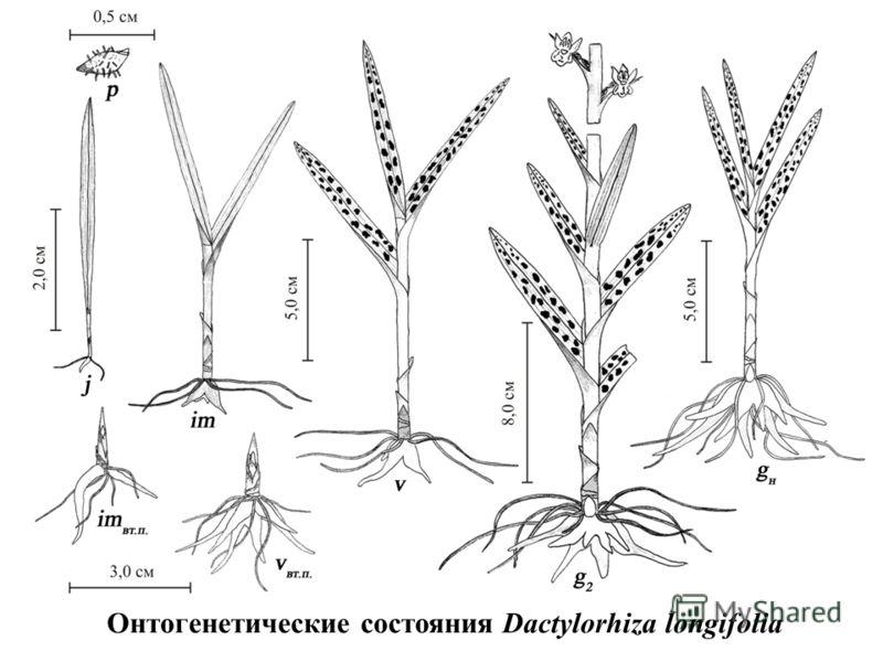 Онтогенетические состояния Dactylorhiza longifolia