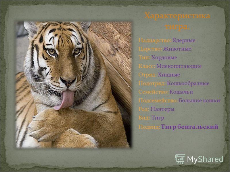 Характеристика тигра. Надцарство: Ядерные Царство: Животные Тип: Хордовые Класс: Млекопитающие Отряд: Хищные Подотряд: Кошкообразные Семейство: Кошачьи Подсемейство: Большие кошки Род: Пантеры Вид: Тигр Подвид: Тигр бенгальский