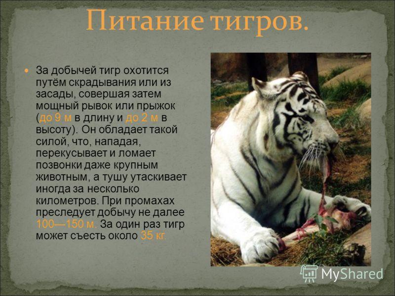 Питание тигров. За добычей тигр охотится путём скрадывания или из засады, совершая затем мощный рывок или прыжок (до 9 м в длину и до 2 м в высоту). Он обладает такой силой, что, нападая, перекусывает и ломает позвонки даже крупным животным, а тушу у