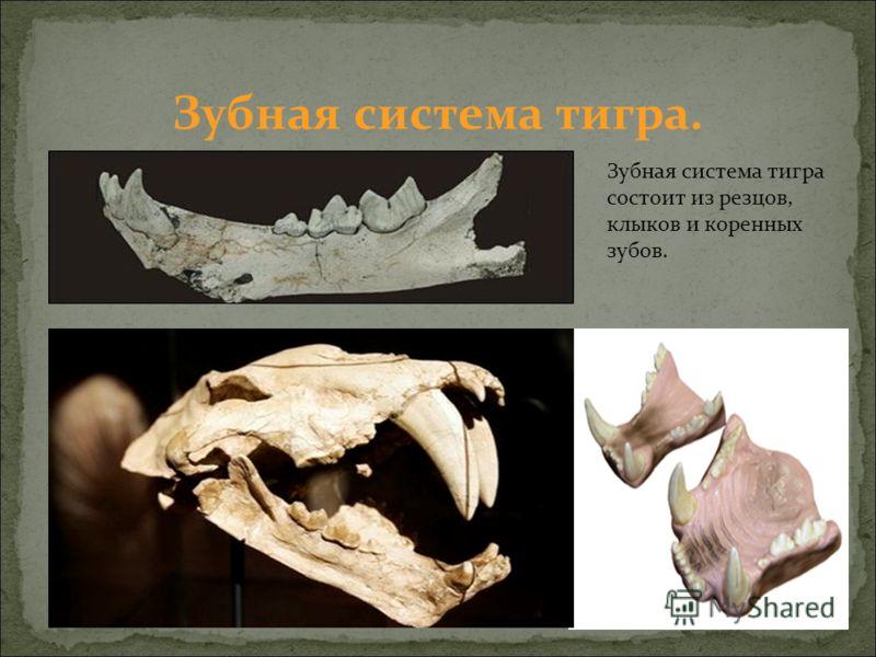 Зубная система тигра состоит из резцов, клыков и коренных зубов. Зубная система тигра.