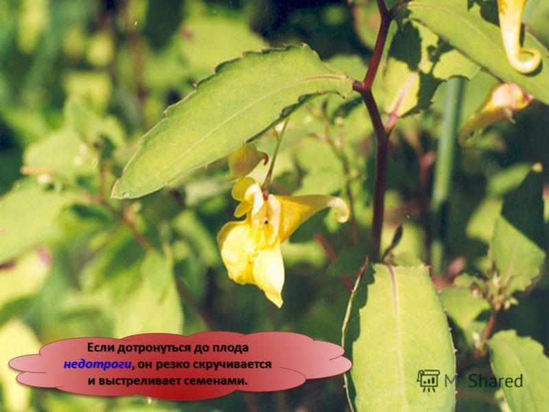Если дотронуться до плода недотроги, он резко скручивается и выстреливает семенами.