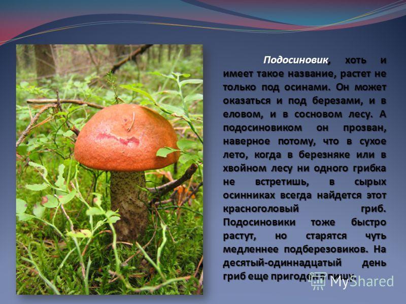 Подосиновик, хоть и имеет такое название, растет не только под осинами. Он может оказаться и под березами, и в еловом, и в сосновом лесу. А подосиновиком он прозван, наверное потому, что в сухое лето, когда в березняке или в хвойном лесу ни одного гр