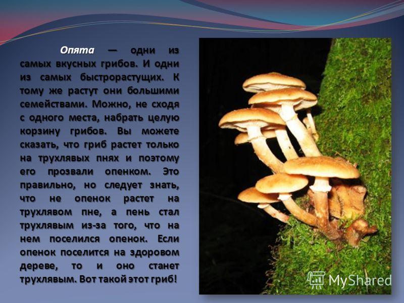 Опята одни из самых вкусных грибов. И одни из самых быстрорастущих. К тому же растут они большими семействами. Можно, не сходя с одного места, набрать целую корзину грибов. Вы можете сказать, что гриб растет только на трухлявых пнях и поэтому его про