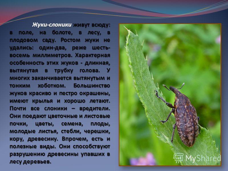 Жуки-слоники живут всюду: в поле, на болоте, в лесу, в плодовом саду. Ростом жуки не удались: один-два, реже шесть- восемь миллиметров. Характерная особенность этих жуков - длинная, вытянутая в трубку голова. У многих заканчивается вытянутым и тонким