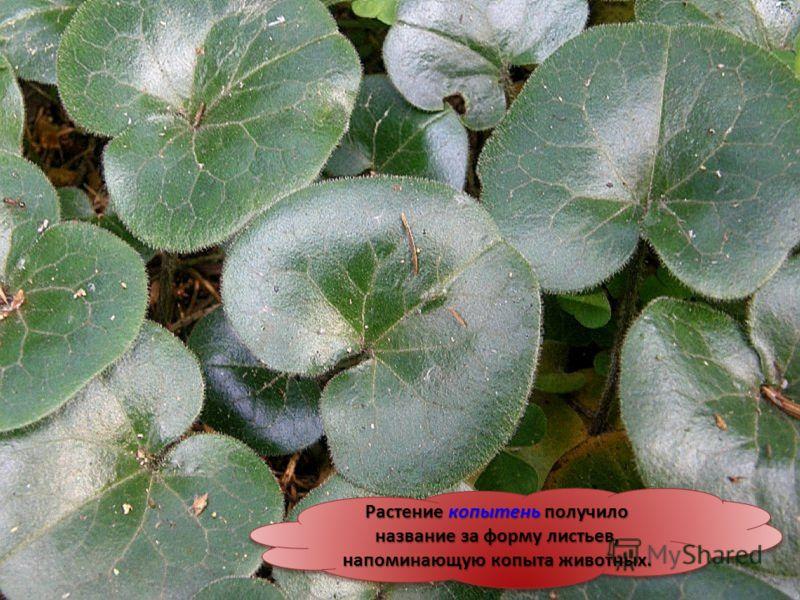 Растение копытень получило название за форму листьев, напоминающую копыта животных.