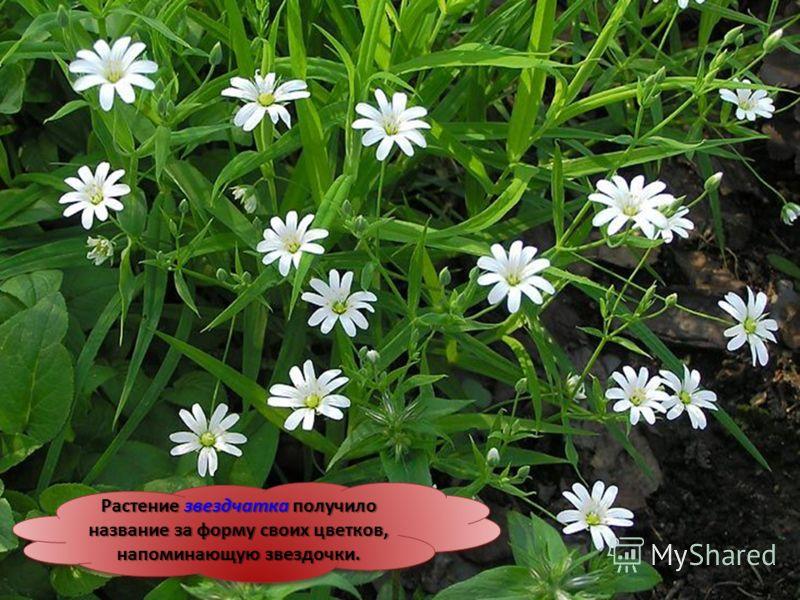 Растение звездчатка получило название за форму своих цветков, напоминающую звездочки.