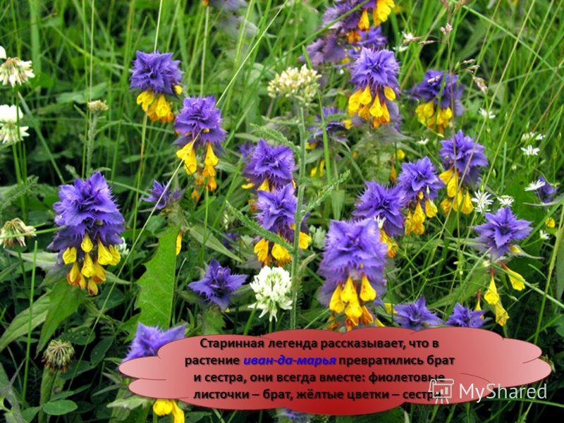Старинная легенда рассказывает, что в растение иван-да-марья превратились брат и сестра, они всегда вместе: фиолетовые листочки – брат, жёлтые цветки – сестра. Старинная легенда рассказывает, что в растение иван-да-марья превратились брат и сестра, о