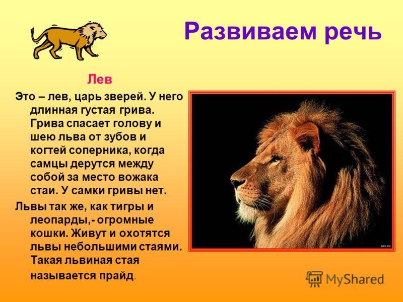 Развиваем речь Лев Это – лев, царь зверей. У него длинная густая грива. Грива спасает голову и шею льва от зубов и когтей соперника, когда самцы дерутся между собой за место вожака стаи. У самки гривы нет. Львы так же, как тигры и леопарды,- огромные