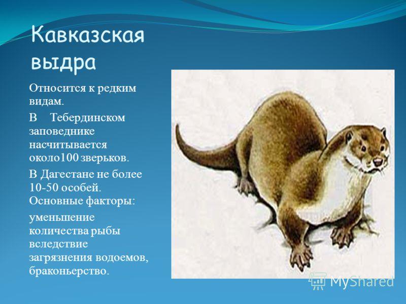 Кавказская выдра Относится к редким видам. В Тебердинском заповеднике насчитывается около100 зверьков. В Дагестане не более 10-50 особей. Основные факторы: уменьшение количества рыбы вследствие загрязнения водоемов, браконьерство.