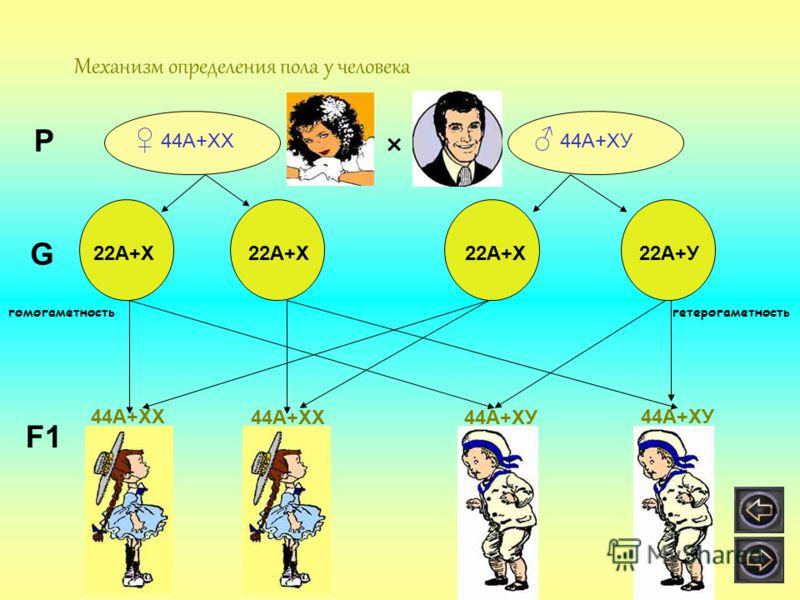 Механизм определения пола у человека 44А+ХХ 44А+ХУ × Р G 22А+Х 22А+У22А+Х F1 44А+ХХ 44А+ХУ ? ? гомогаметностьгетерогаметность