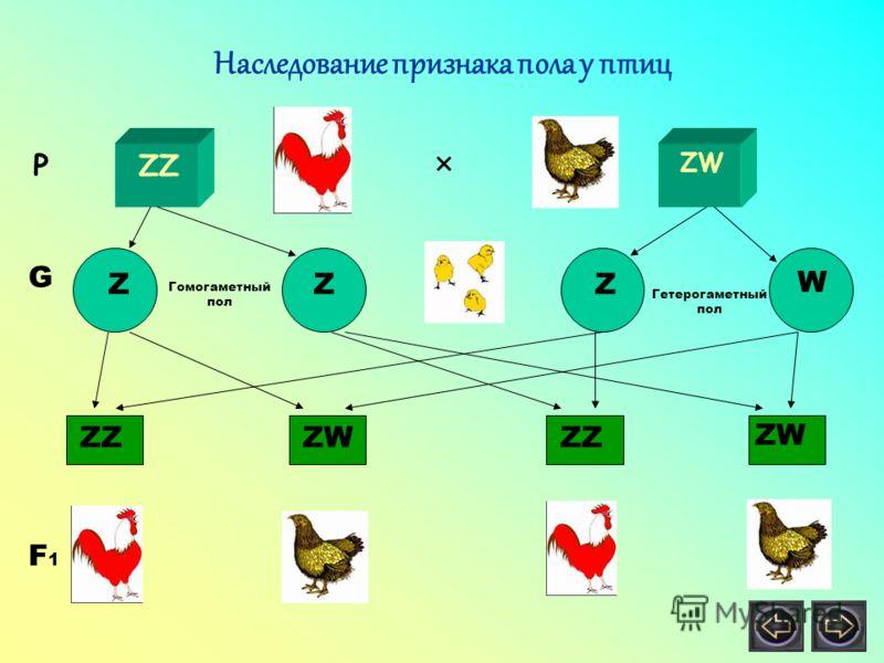 Наследование признака пола у птиц Р ZZ ZW × Z Z Z W G ZZ ZW ZZ ZW F 1 Гомогаметный пол Гетерогаметный пол
