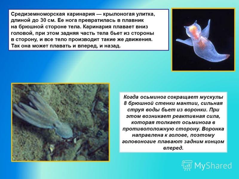 Средиземноморская каринария крылоногая улитка, длиной до 30 см. Ее нога превратилась в плавник на брюшной стороне тела. Каринария плавает вниз головой, при этом задняя часть тела бьет из стороны в сторону, и все тело производит такие же движения. Так
