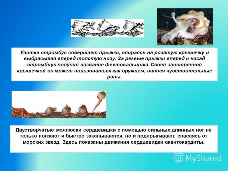 Улитка стромбус совершает прыжки, опираясь на рогатую крышечку и выбрасывая вперед толстую ногу. За резвые прыжки вперед и назад стромбиус получил название фехтовальщика. Своей заостренной крышечкой он может пользоваться как оружием, нанося чувствите