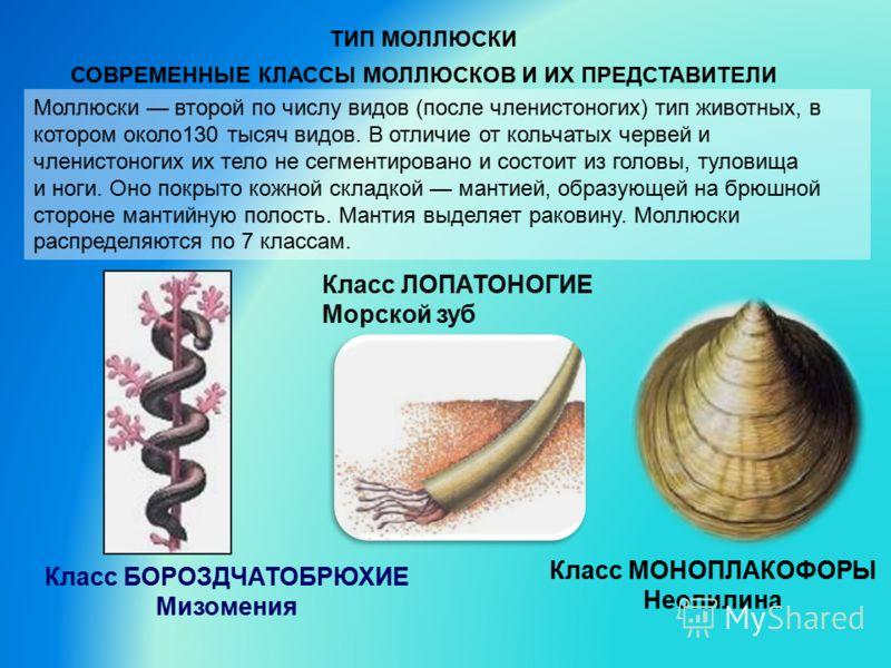 ТИП МОЛЛЮСКИ СОВРЕМЕННЫЕ КЛАССЫ МОЛЛЮСКОВ И ИХ ПРЕДСТАВИТЕЛИ Моллюски второй по числу видов (после членистоногих) тип животных, в котором около130 тысяч видов. В отличие от кольчатых червей и членистоногих их тело не сегментировано и состоит из голов