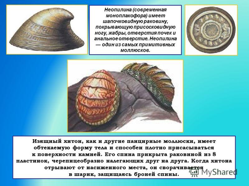 Неопилина (современная моноплакофора) имеет шапочковидную раковину, покрывающую присосковидную ногу, жабры, отверстия почек и анальное отверстие. Неопилина один из самых примитивных моллюсков. Изящный хитон, как и другие панцирные моллюски, имеет обт