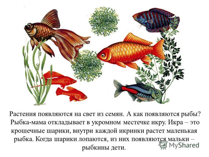 Растения появляются на свет из семян. А как появляются рыбы? Рыбка-мама откладывает в укромном местечке икру. Икра – это крошечные шарики, внутри каждой икринки растет маленькая рыбка. Когда шарики лопаются, из них появляются мальки – рыбкины дети.