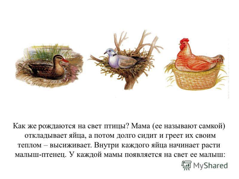 Как же рождаются на свет птицы? Мама (ее называют самкой) откладывает яйца, а потом долго сидит и греет их своим теплом – высиживает. Внутри каждого яйца начинает расти малыш-птенец. У каждой мамы появляется на свет ее малыш: