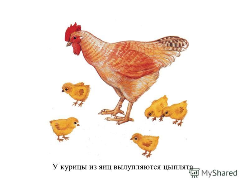 У курицы из яиц вылупляются цыплята