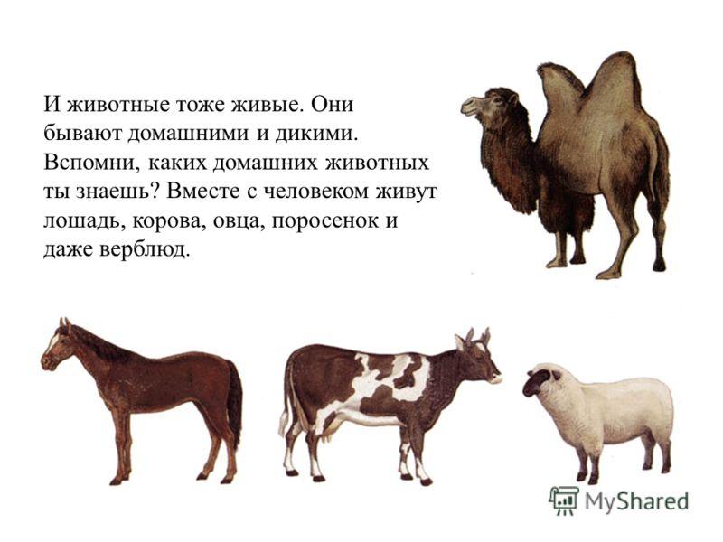 И животные тоже живые. Они бывают домашними и дикими. Вспомни, каких домашних животных ты знаешь? Вместе с человеком живут лошадь, корова, овца, поросенок и даже верблюд.