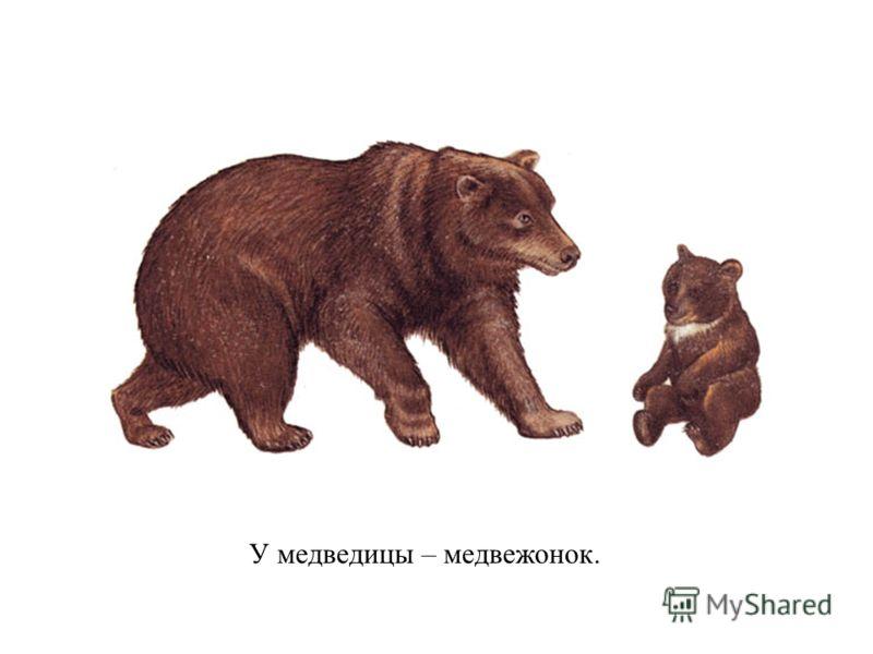 У медведицы – медвежонок.