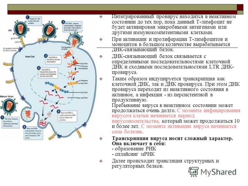 Интегрированный провирус находится в неактивном состоянии до тех пор, пока данный Т-лимфоцит не будет активирован микробными антигенами или другими иммунокомпетентными клетками. При активации и пролиферации Т-лимфоцитов и моноцитов в большом количест