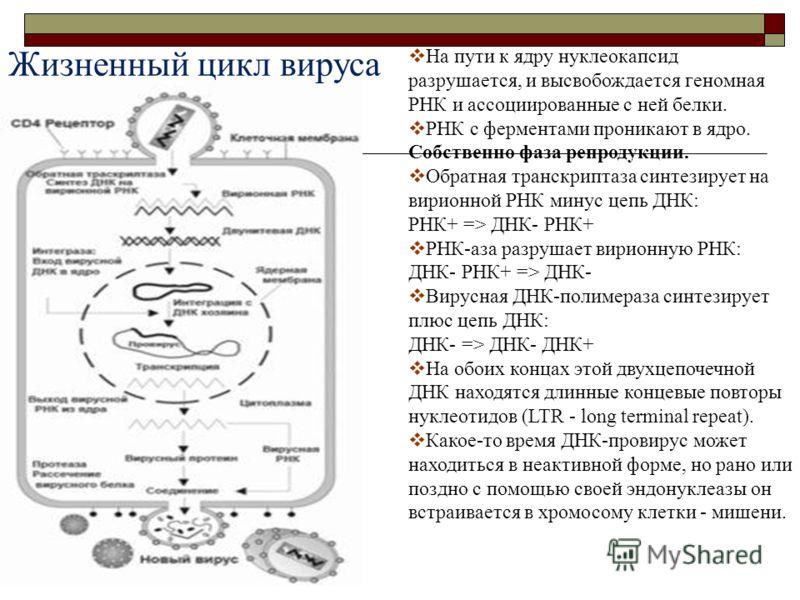 На пути к ядру нуклеокапсид разрушается, и высвобождается геномная РНК и ассоциированные с ней белки. РНК с ферментами проникают в ядро. Собственно фаза репродукции. Обратная транскриптаза синтезирует на вирионной РНК минус цепь ДНК: РНК+ => ДНК- РНК